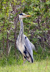 The Grey Heron. (nondesigner59) Tags: bird nature wildlife archives greyheron eos50d nondesigner nd59 copyrightmmee
