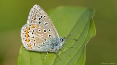 Little Boy Blue (KHR Images) Tags: macro nature woodland butterfly insect nikon lepidoptera cambridgeshire commonblue d7100 bedfordpurlieus 1050mmf28 kevinrobson bcnwildlifetrust khrimages