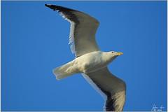 DSC_2758 Kelpmeeu (johann.spies) Tags: bird kelpgull larusdominicanus seemeeu vols kelpmeeu