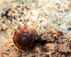 Mollusca, Gastropoda, Stylommatophora - Discidae : Discus rotundatus rotundatus (O. F. Mller 1774) (Ihagee86) Tags: nikon nikkor macrophotographie fujifilmfinepixs5pro gastropodes micronikkor55mmais macrolife