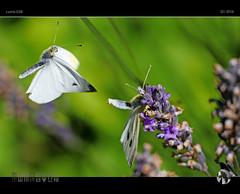 Dance of the Butterflies (tomraven) Tags: butterfly lumix dance flight butterflies panasonic mating capture cabbagewhite gx8 tomraven aravenimage q12016