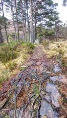Coire Mhic Nobhuil (pauldunn52) Tags: tree pine scotland roots footpath liathach