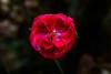 red rain (lumofisk) Tags: winter red rot water rain rose 50mm wasser drop flowering blüte regen tropfen 0mmf0 nikondf