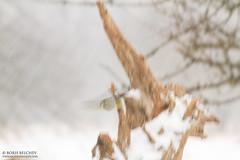 A first day at the garden hide with our guest David D. (BUL) (_alcedo_) Tags: winter nature birds animals gardenofeden birdfeeder guest bluetit lithuania biodiversity migrant breeder cyanistescaeruleus wildlifephotography wintering paridae eurasianbluetit nemunasdelta wildlifephotographers borisbelchev hidephotography wwwalcedowildlifecom bird20iocreplaceoldbirdlist nemunodeltarp uabkintai daviddavidov