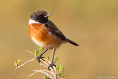 Stonechat_82A0721 (kevinmayhew62) Tags: stonechat