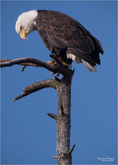 checking out supper (marneejill) Tags: creek french bc looking adult eagle hunting over bald perched prey bent