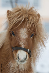 Schneewittchen (HendrikSchulz) Tags: schnee winter horses horse snow animal animals klein small january mini pony ponies pferde pferd januar ponys 2016 animalphotography schneewittchen tierfotografie winterpelz minishetty winterfell pferdefotografie horsephotography minishetlandpony minishetties hendrikschulz hendriktschulz