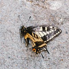 Bye Bye Butterfly (Jeremy Brooks) Tags: sanfrancisco california usa nature butterfly dead sanfranciscocounty camera:make=fujifilm camera:make=fuji camera:model=xpro1