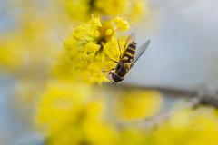 Hoverfly on Cornus mas (cornelian cherry); 4934 (billpusztai) Tags: tree cherry mas spring flowering dogwood vernal cornus cornelian pollinator