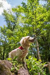IMG_1262 (yukichinoko) Tags: dog dachshund 犬 kinako ダックスフント ダックスフンド きなこ