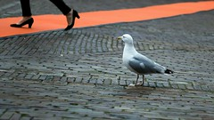 Inge Hoogendoorn (ingehoogendoorn) Tags: seagulls bird birds pumps absurd gull gulls meeuw meeuwen vogel redcarpet absurdism zeemeeuw showbizz rodeloper zeemeeuwen streetscen vreemdevogel