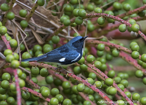 Reinita Azul-Black-throated Blue Warbler-Setophaga caerulescens, Male Appalachian subespecies *