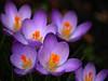 013 crocus (saxonfenken) Tags: flowers crocus lilacandorange purple spring2016 thechallengefactory perpetual superhero twothumbsup pregamesweep 9987crocus 9987