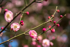   Plum Blossom #Day37/366 (Owen Wong (Thank you)) Tags: pink flower blossom plum   day365