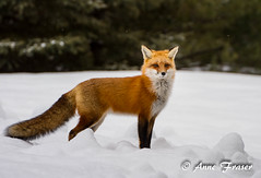 Looking pretty in the snow (Anne Marie Fraser) Tags: red snow nature pretty wildlife fox snowing