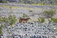 Coyote, Death Valley (1) (Bob Palin) Tags: california coyote 15fav usa nature animal nationalpark desert outdoor wildlife deathvalley 100vistas instantfave orig:file=2016012804698