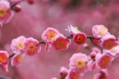 -3 (nobuflickr) Tags: flower nature japan kyoto       prunusmumeformpendula jounanguushrine 20160226dsc00152