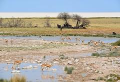 Etosha Pan (anacm.silva) Tags: africa wild landscape wildlife namibia etosha gnus saltpan frica etoshapan etoshanationalpark nambia gazelas antlopes