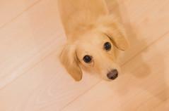 IMG_3846 (yukichinoko) Tags: dog dachshund 犬 kinako ダックスフント ダックスフンド きなこ