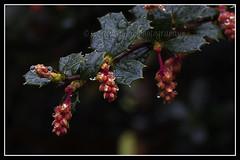 IMG_0067 (Scotchjohnnie) Tags: plant flower macro nature closeup canon flora petal canoneos waterdroplet canonef50mmf18ii canon7dmkii scotchjohnnie