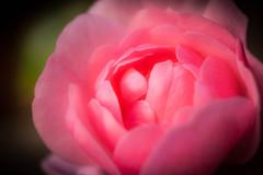 Pink Rose (MacBeales) Tags: pink macro art up rose canon eos 350d close pinkrosemacro
