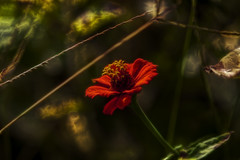 Dreamy Look (Klaus Ficker) Tags: flower grass closeup canon dream dreams dreamy eos5dmarkii kentuckyphotography klausficker