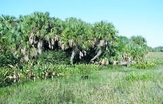 Fresh water marsh 1612 (Tangled Bank) Tags: county trees wild plants green beach nature wet water landscape natural florida fresh palm land marsh cay marshland wetland freshwater