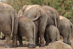 No more pictures, please... (K.Verhulst) Tags: elephant rotterdam blijdorp elephants blijdorpzoo olifanten diergaardeblijdorp asiaticelephants aziatischeolifanten
