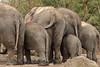 No more pictures, please... (K.Verhulst) Tags: elephant rotterdam blijdorp elephants blijdorpzoo olifanten diergaardeblijdorp asiaticelephants aziatischeolifanten