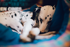 Sleepy (Leo Hidalgo (@yompyz)) Tags: dog pet love film animal canon photography eos reflex random sleep cam dream like perro dslr dalmatian 6d fotografa dlmata vsco ileohidalgo yompyz