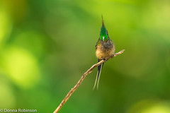 Wire-crested Thorntail - Wildsumaco (male) (Donna Hampshire) Tags: hummingbird subtropical ecuadorbirds colourfulbirds tropicalforests southamericanbirds thorntail wirecrestedthorntail wildsumaco discosurapopelairii donnarobinson donnahampshire