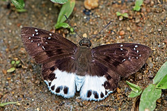 Tagiades litigiosa - the Water Snow Flat (BugsAlive) Tags: macro nature animal butterfly insect thailand outdoor wildlife butterflies insects lepidoptera chiangrai hesperiidae pyrginae watersnowflat tagiadeslitigiosa liveinsects  lamnamkoknp