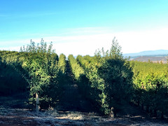 Fruit Orchard (RobW_) Tags: fruit sunday orchard hydro february stellenbosch westerncape 2016 28feb2016