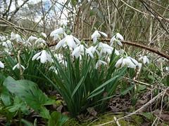 Snowdrops (x 2) (rockwolf) Tags: flowers flora shropshire snowdrops wildflowers galanthus perceneige rockwolf merringtongreen