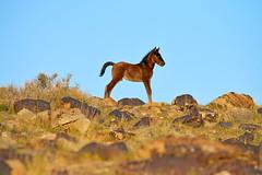 King of the World (wild Mustang colt) or rocking horse model? (rangerbatt) Tags: