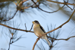 Evening Grosbeak (jdcalvin096) Tags: feathers evergreen grosbeak bog egglaying naturescreations