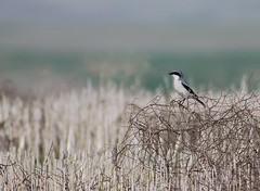 Loggerhead Shrike (Christopher Lindsey) Tags: birds washington spring birding april loggerheadshrike wallawallacounty doddroad