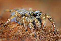 Salticus scenicus. (Ireneusz Irass Waledzik) Tags: 6 eye nature 35mm spider nikon extreme ngc jumpingspider nationalgeographic schneiderkreuznach salticus scenicus helicon dofstacking enlarginglens schneiderkreuznachcomponon35mmf4 nikond7100 digitalcamerapolska irass