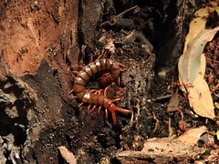 Centipede (Friends of Aldinga Scrub) Tags: centipede southaustralia invertebrate myriapod aldingascrubconservationpark friendsofaldingascrub