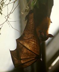 Fox wing (Jaedde & Sis) Tags: wing hanging backlit flyingfox upside fruitbat perpetualwinner