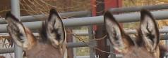 EARS (nevada4949) Tags: ears burros blm ridgecrest