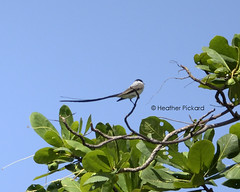 Fork-tailed Flycatcher ( Tyrannus savana) (Heather Pickard) Tags: birds panama flycatcher savana wildbird tyrannus tyrannussavana forktailedflycatcher neotropical forkedtail neotropic