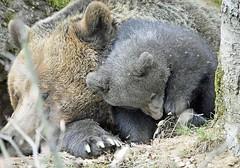 Jungbr bewundert Nageldesign bei Mama (waidlerwiki) Tags: bear baby bavaria nails br bayerischerwald 2016 nageldesign bayerwald braunbren nationalparkbayerischerwald tierfreigelnde jungbr bavarianforestnationalpark nationalparkzentrumlusen nreuschnau