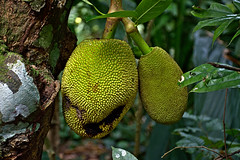 Jackfruit (joxeankoret) Tags: singapore reservoir jungle singapur jackfruit macritchie