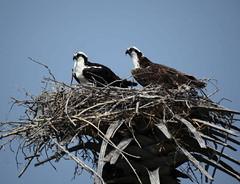 Osprey Pandion haliaetus (helmutnc) Tags: hg sweetfreedom specanimal hennysanimals