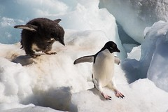 Adelie Penguins - I'm Bigger Than You (Barbara Evans 7) Tags: island penguin with chick barbara peninsula antarctic paulet adelie evans7