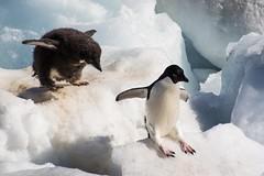 Adelie Penguins - I'm Bigger Than You (Barbara Evans 7) Tags: island penguin with chick barbara peninsula antarctic paulet adelie evans7