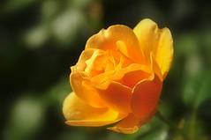 nourish (Kristen Fletcher Photography) Tags: rose yellow portland petals blossom bloom