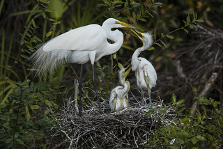 Great Egret & young