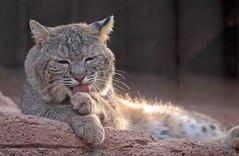 bobcat burgerszoo JN6A5350 (j.a.kok) Tags: bobcat lynx burgerszoo rodelynx